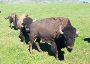 Buffalo On Green Grass
