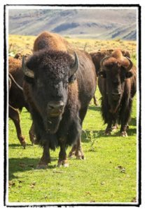 Buffalo herd staring down hunters