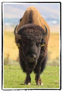 Buffalo bull staring down hunter