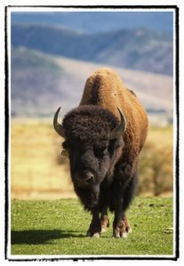 Buffalo bull standing in field