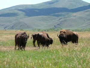 Buffalo Herd in Grass