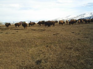 Buffalo in Field With Snow on Mountains